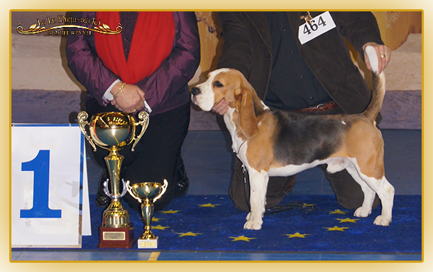 Excellent beagle from La Lu Riqueza FCI kennel with 10 years of tradition